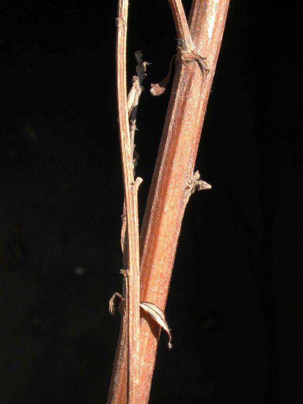 Artemisia ludoviciana ...