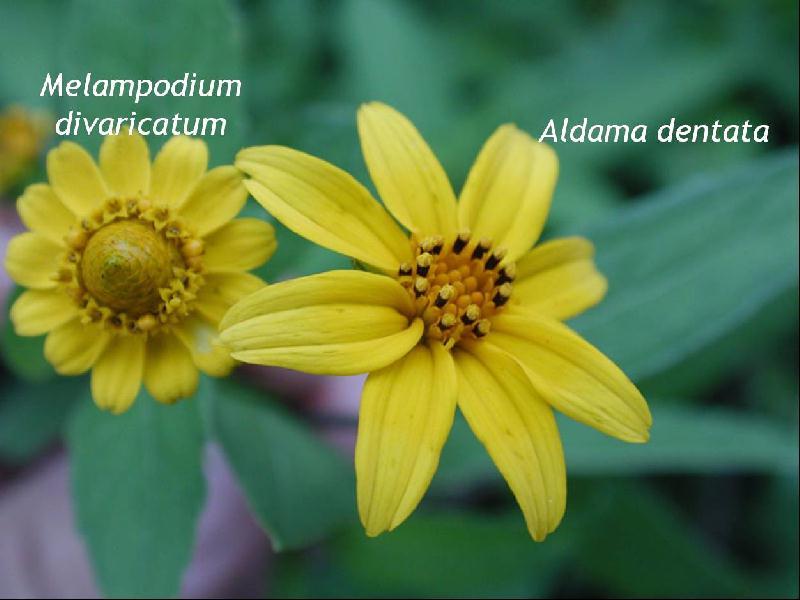 melampodium divaricatum fotos