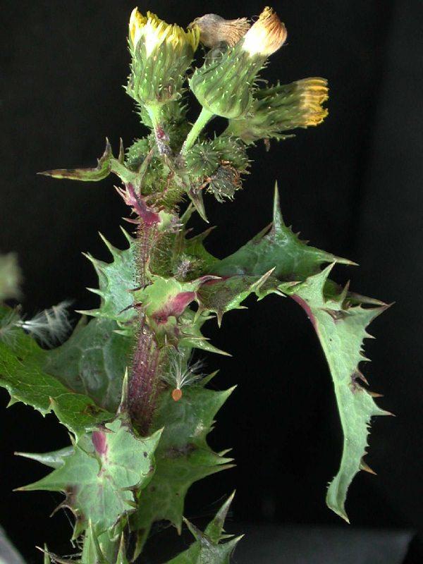 http://www.conabio.gob.mx/malezasdemexico/asteraceae/sonchus-asper/imagenes/inflorescencia.jpg