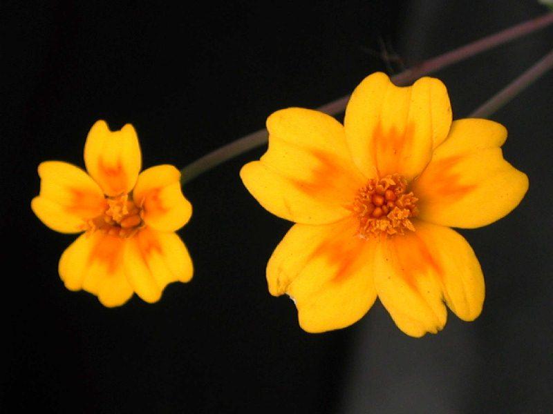 Amarillo Dorado  Tintes naturales