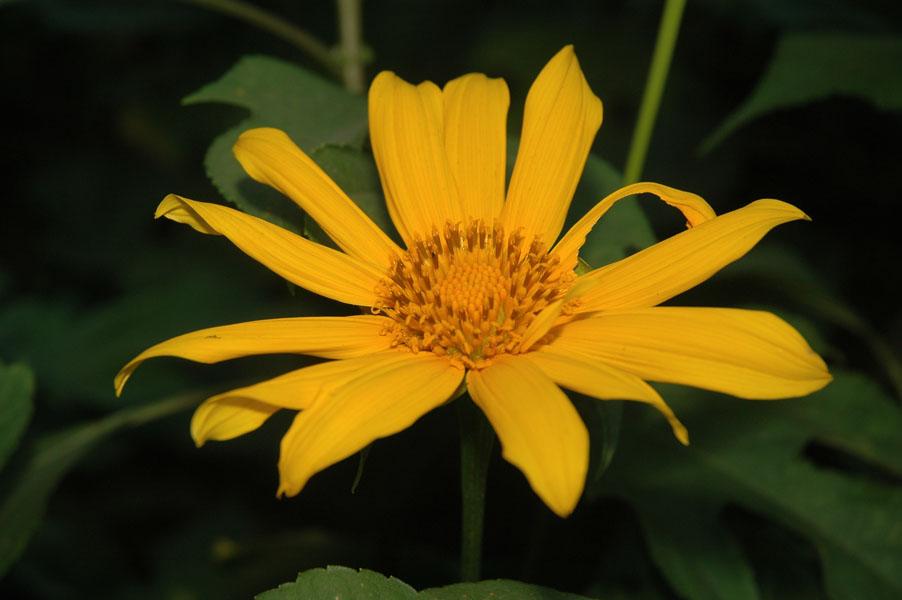 Descriptive essay on sunflower