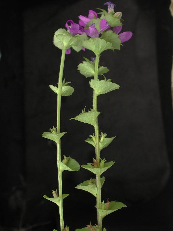 Triodanis Perfoliata Fotos