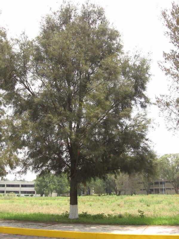 Inicio >> Casuarina equisetifolia - fotos