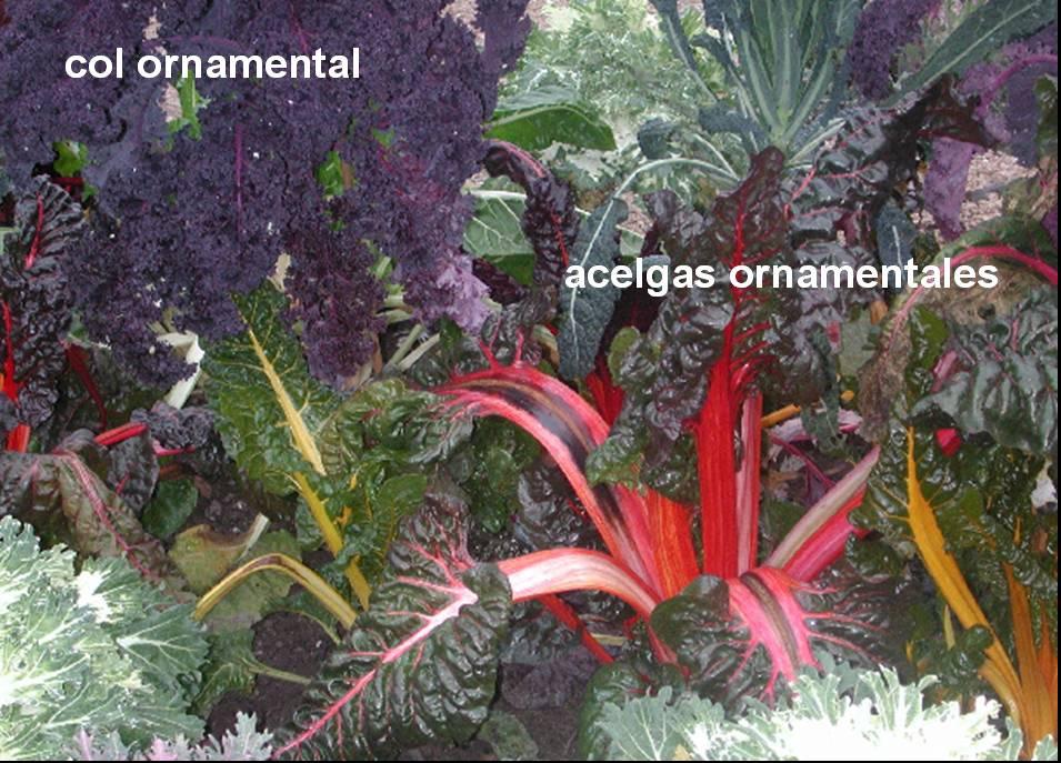 Beta vulgaris ficha informativa for Jardin botanico medicinal