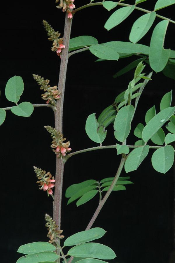 hoja y flores de indigofera suffructicosa