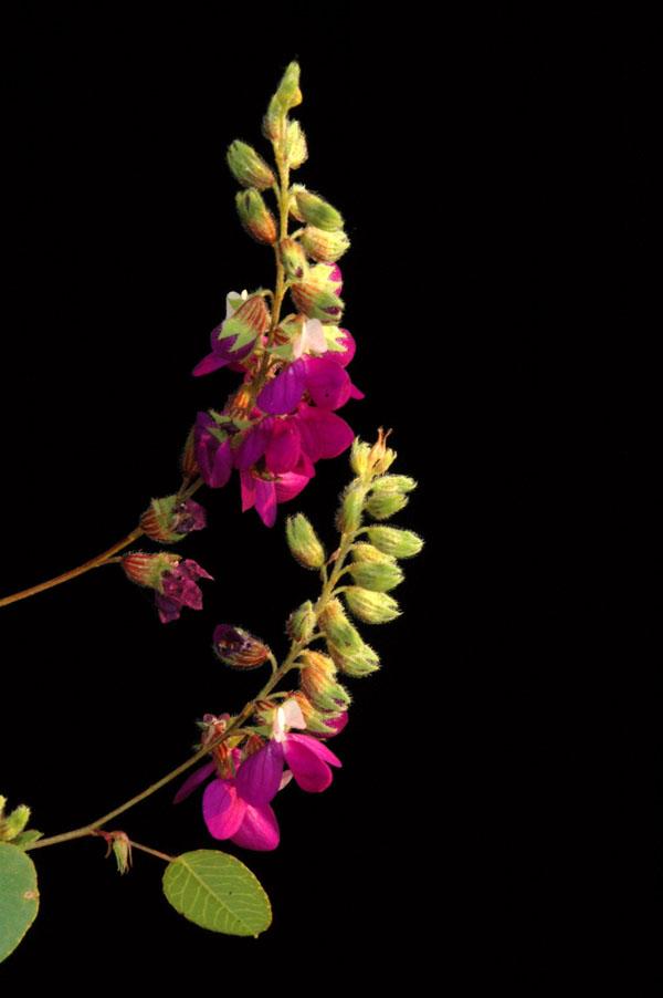 Tabla Comparativa Flores Lilas O Purpuras