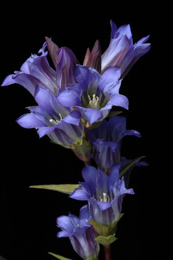 http://www.conabio.gob.mx/malezasdemexico/gentianaceae/gentiana-spathacea/imagenes/flores.jpg