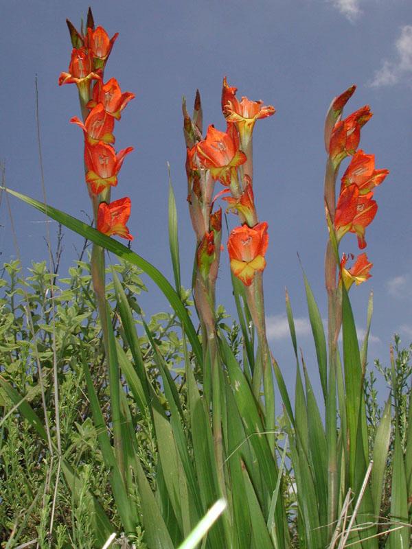 X 3 2 >> Gladiolus x hortelanus - fotos