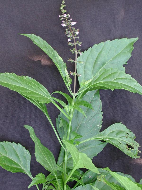 ocimum micranthum
