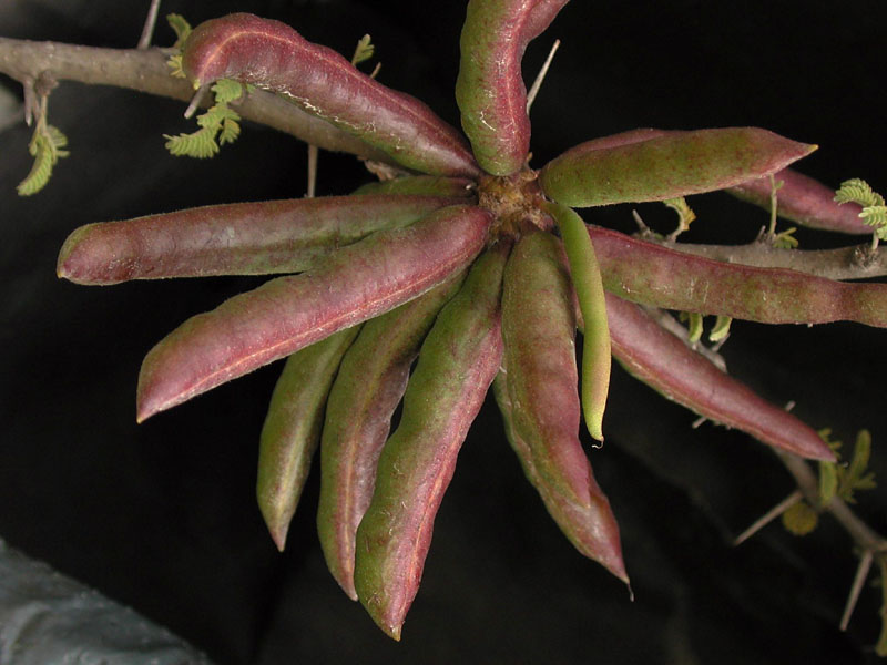 Autores >> Acacia farnesiana - fotos