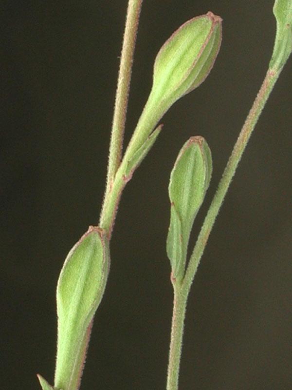 Oenothera rosea - foto...
