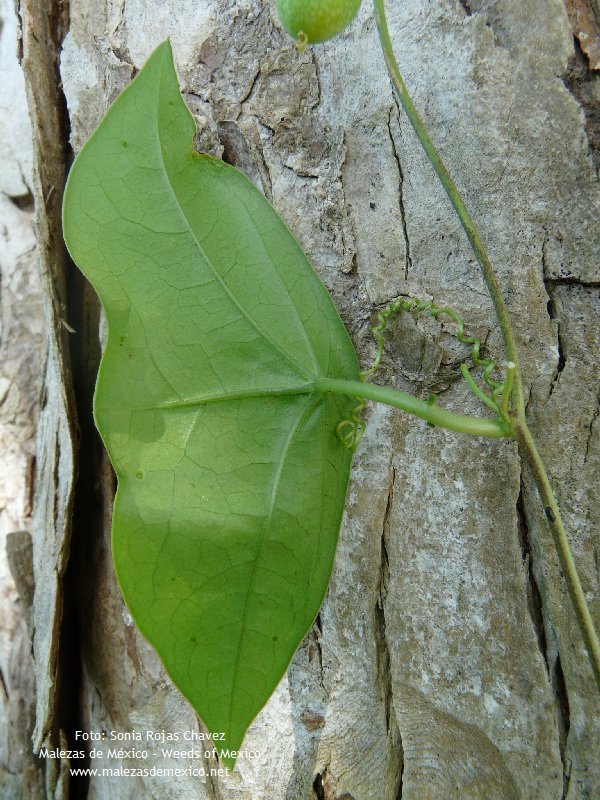 passiflora sexocellata