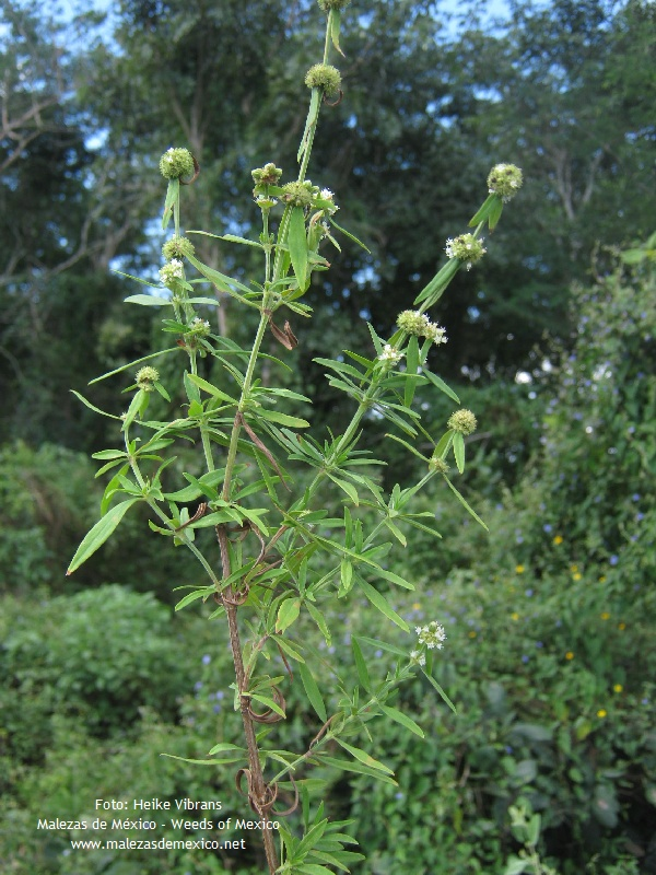 Borreria verticillata - fotos