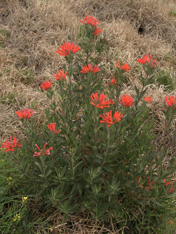 Bouvardia ternifolia - fotos