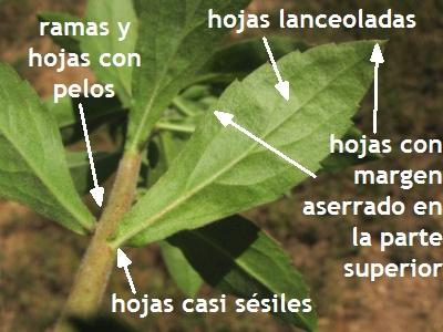 Herbario montecarmeliano leandro aristeguieta capraria for Tipos de arboles y caracteristicas